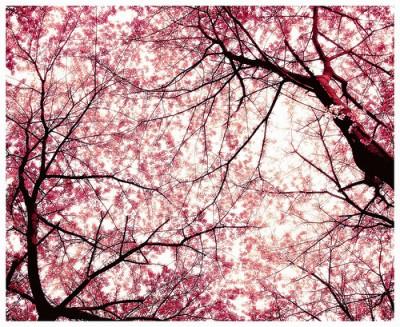 cherry-blossom-400x327